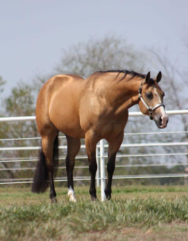 Buckskin quarter horse stallion - photo#12